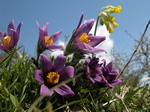 Pulsatilla vulgaris